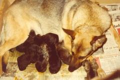 Sacha og hendes 9 hvalpe